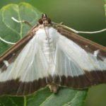 Der Schmetterling Buchsbaumzünsler