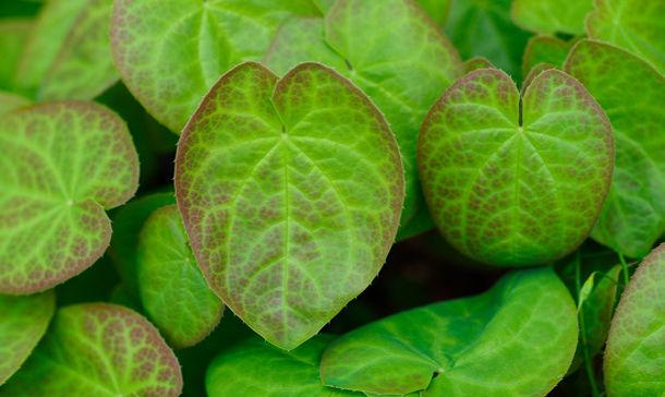 Epimedium - die Elfenblume