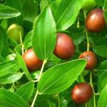 Frucht der chinesischen Dattel