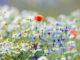 Blumenwiese in Blüte