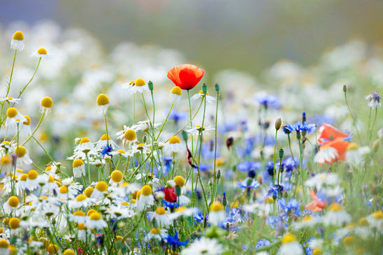 Blumenwiese Englisch blumenwiese englisch blumenwiese im wald erzi teppich blumenwiese