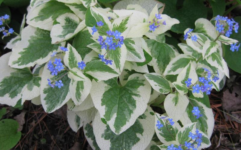 brunnera_dawns_white