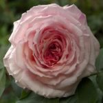 Englische Rose James Galway