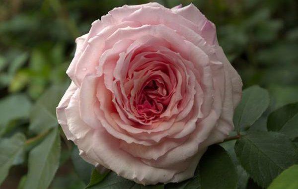 Englische Rose James Galway