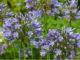 Kübelpflanze Agapanthus