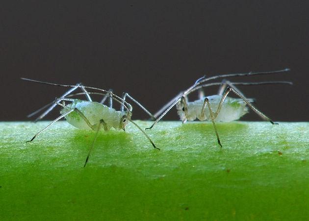 Saugende Blattläuse