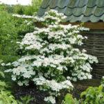 Pflanze Viburnum plicatum 'Kilimandjaro' ®