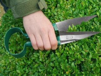 Buchsbaum wird geschnitten
