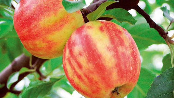 neue apfelsorten fruchtbar unser angebot b neue