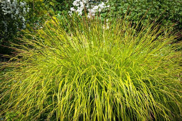 Carex elata Aurea