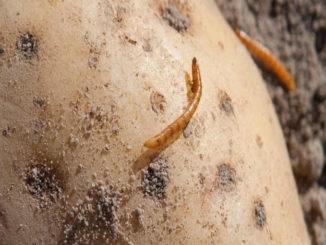 Drahtwurm in Kartoffel