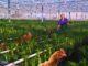 Hühner im Gewächshaus
