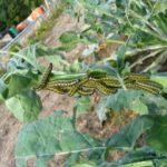 Raupen fressen an Kohlpflanze