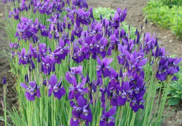Iris sibirica 'Caesar's Brother' - Wiesen-Iris
