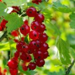 Johannisbeerzweig mit Früchten