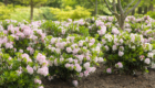 rhododendron-bloombux_5