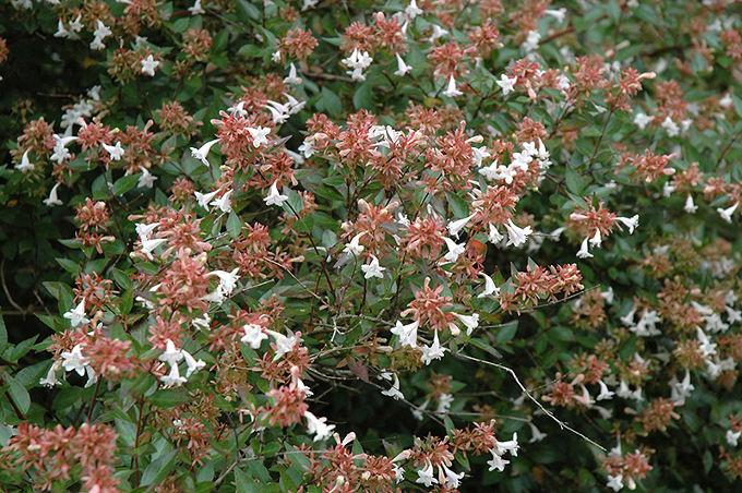 Abelia - eine vielseitig verwendbare Pflanze