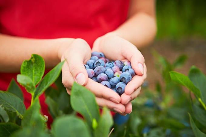 Heidelbeeren in Händen gehalten