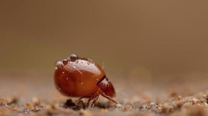 Hornmilbe der Familie Euphthiracaridae. Diese Milben reisen lebend im Darm von Schnecken. (Foto: Andy Murray)