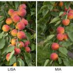 Lisa und Mia - zwei neue Aprikosensorten