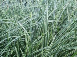 Bild Carex