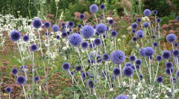Echinops ritro 'Veitch's Blue' - Kugeldistel