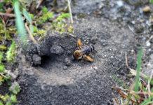 Bild Hosenbiene