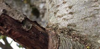 Bild von Astkragen am Baum