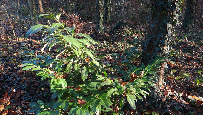 Kirschlorbeer im Wald