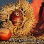 Edelkastanie Frucht
