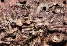 Fichtenborke mit Einbohrlöchern des Nordischen Fichtenborkenkäfers (Ips duplicatus) (Foto: Beat Wermelinger / WSL)