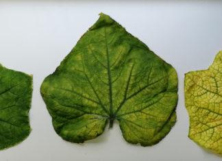 Gurkenvirus