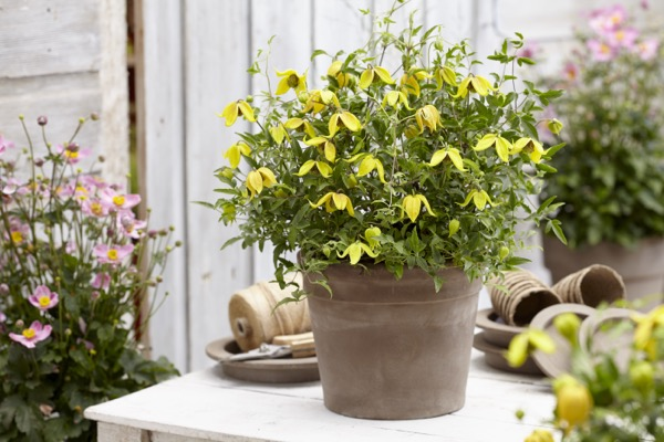 Clematis Little Lemon