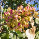 Pistazienfrucht am Baum