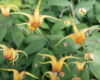 Bodendeckerstaude Epimedium