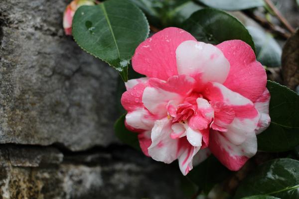 Kamelie mit rosa-weisser Blüte