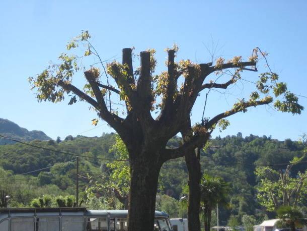 Baumschnitt an Linde