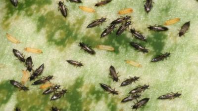 Thripse saugend auf einem Blatt