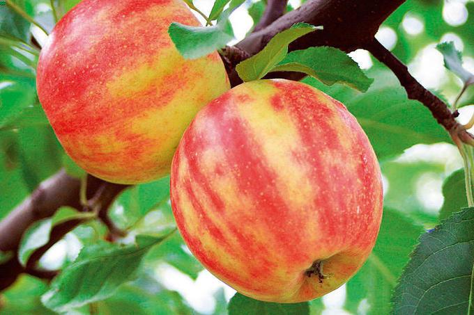 Äpfel am Baum Sorte Karneval