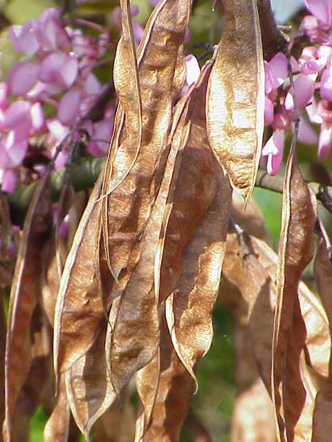Cercis siliquastrum in Blüte