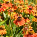 Helenium Hybride 'Waltraut' - Sonnenbraut