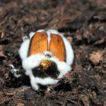 japankäfer mit pilzbefall