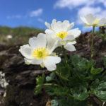 ranunculus_alpestris