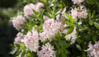 rhododendron-bloombux_4