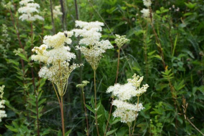 Bild Blüte Mädesüss