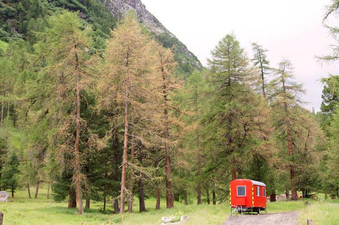 Lärchenwickler, Val Bever GR, Juni 2017 (Bild: Waldschutz Schweiz)