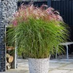 miscanthus-red-cloud