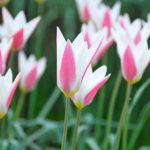 tulipa_clusiana