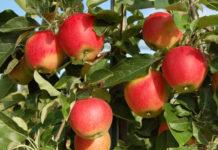 Apfel Ladina