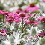 eryngium und echinacea